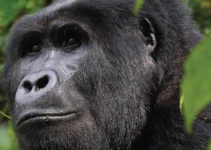 Trek Gorillas Uganda