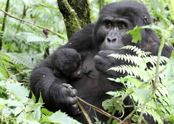 Gorilla Safaris Uganda