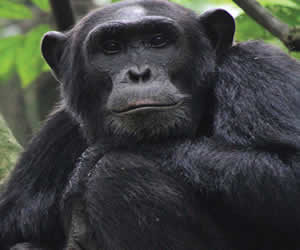 Chimps Kibale Forest