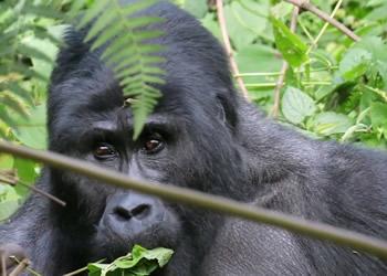 Gorillas Bwindi Uganda
