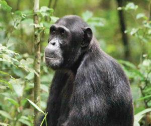 Chimpanzee Tracking Tours Uganda