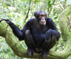 Chimpanzee Tours in Uganda