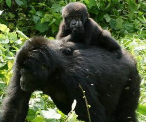 Gorilla Trek Tours UGanda