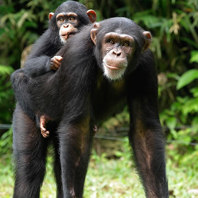 Chimpanzee tracking Adventures
